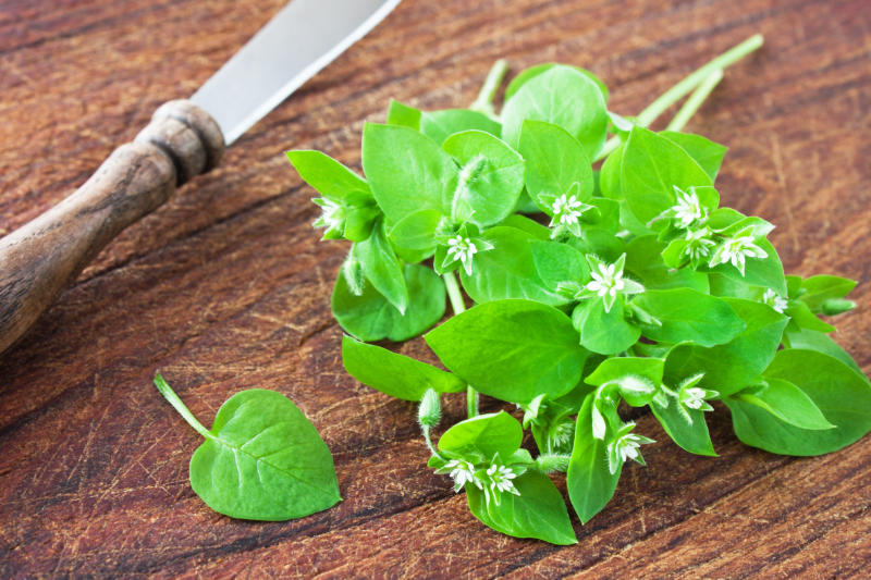 Edible weeds Fresh Chickweed herbs and knife