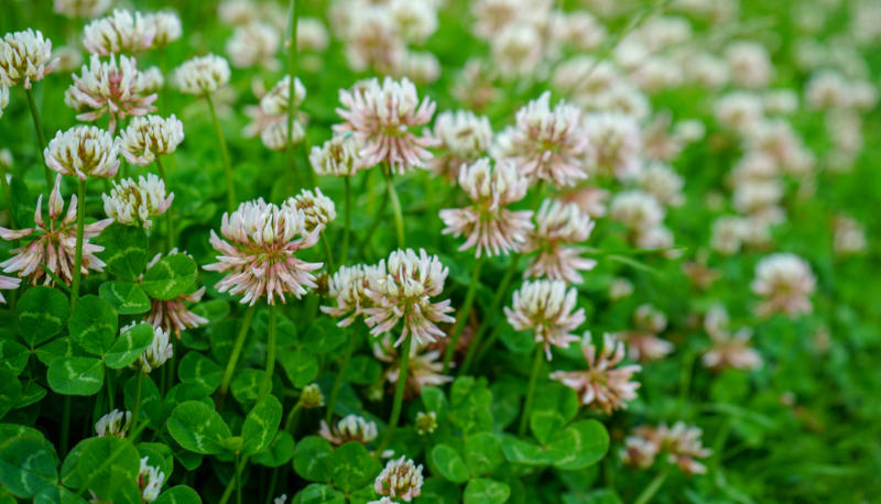 Edible weeds Close up of clover growing in a grass lawn