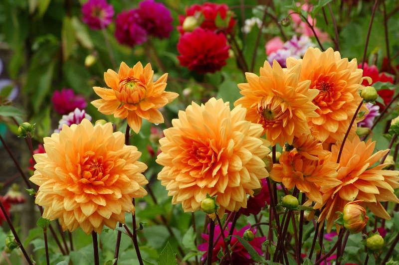 How to grow flowers for cutting dahlias