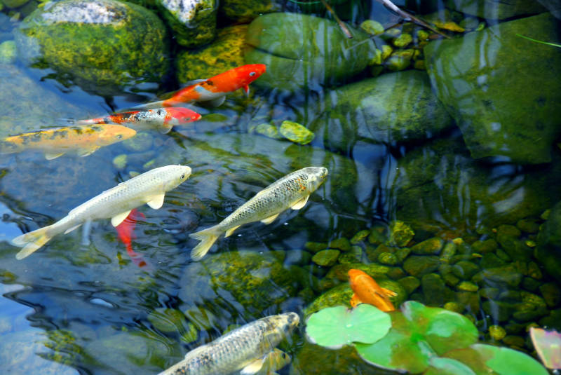 Koi carp can be pricey (Thinkstock/PA)