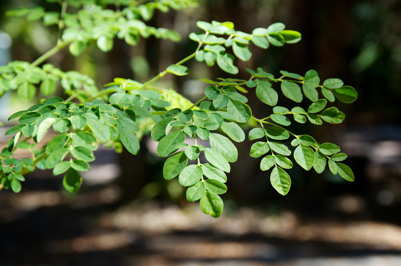 Moringa leaves are unusually rich in protein