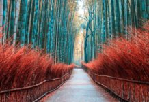 Most beautiful forest in the world walkway bamboo tunnel named Arashiyama bamboo forest in Kyoto, Tourist landmark of Japan