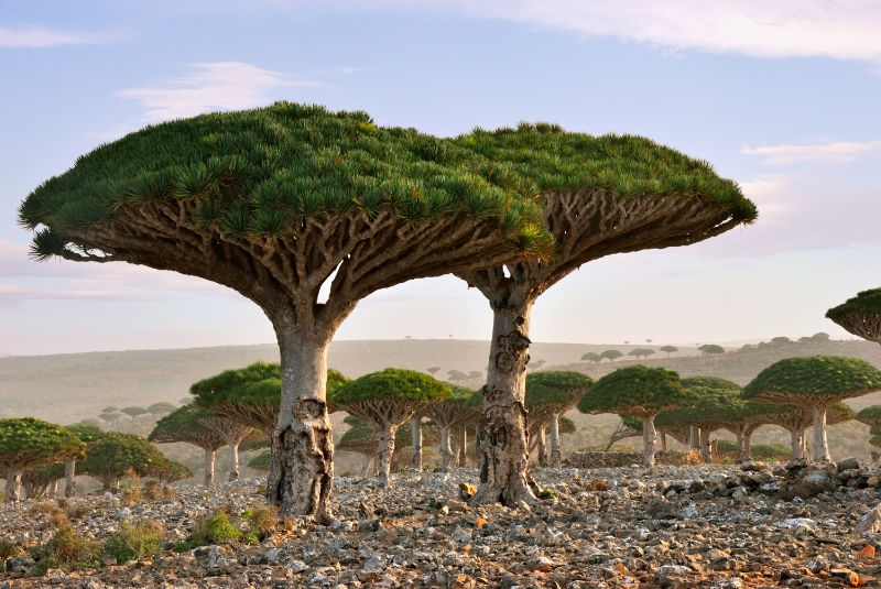 Endemic plant Dragon Blood Tree in the island Socotra