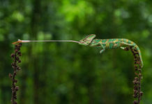 A chameleon catching a fly (@georock888/Agora/PA)