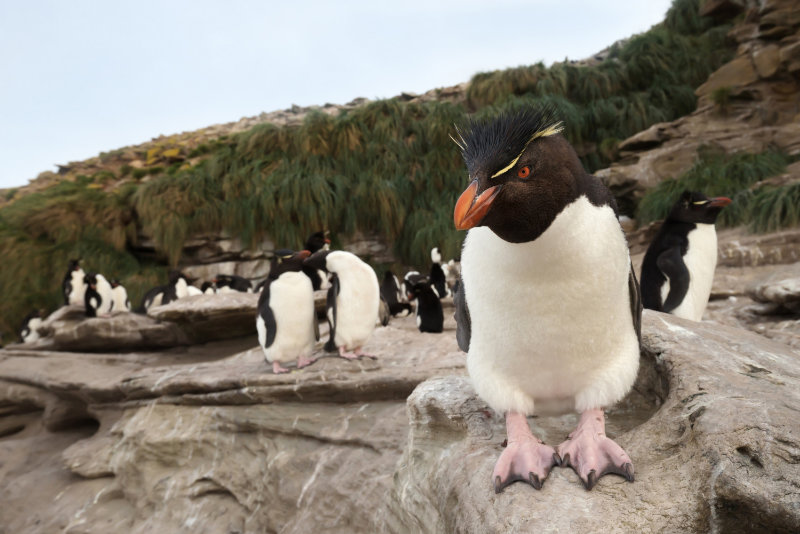 Southern rockhopper penguin standing on a rock