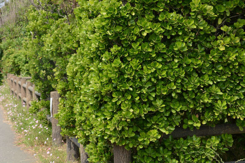 Euonymus japonica makes good hedging (iStock/PA)