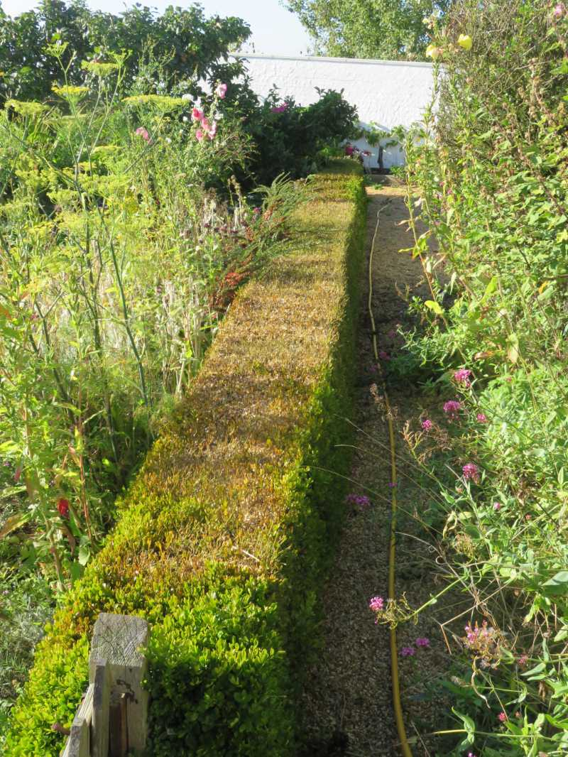 Box blight can ruin your hedges (Ms C Hoyle/RHS/PA)