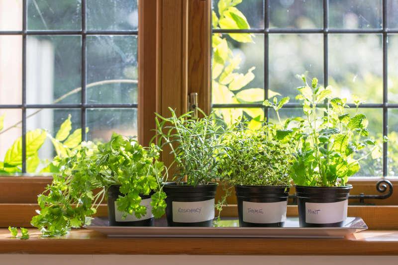 Herbs growing in post on a windowsill