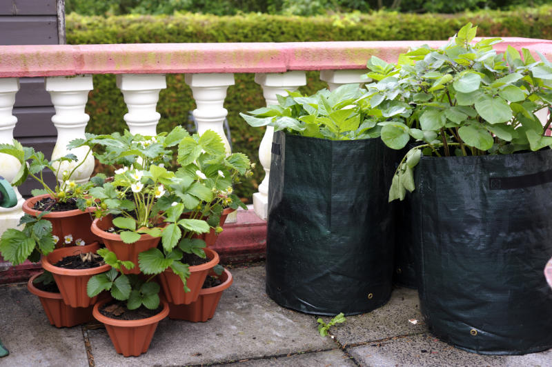 """""""Potatoes being grown in deep eco-friendly bags, and strawberries being grown in a clay planter, on a stone terrace. Shows how to grow food in a tiny garden area."""""""