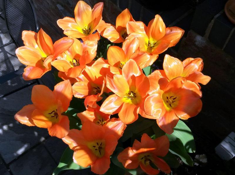 Garden makeover orange tulips