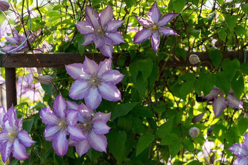 Garden makeover Lilac Colored Clematis Flowers