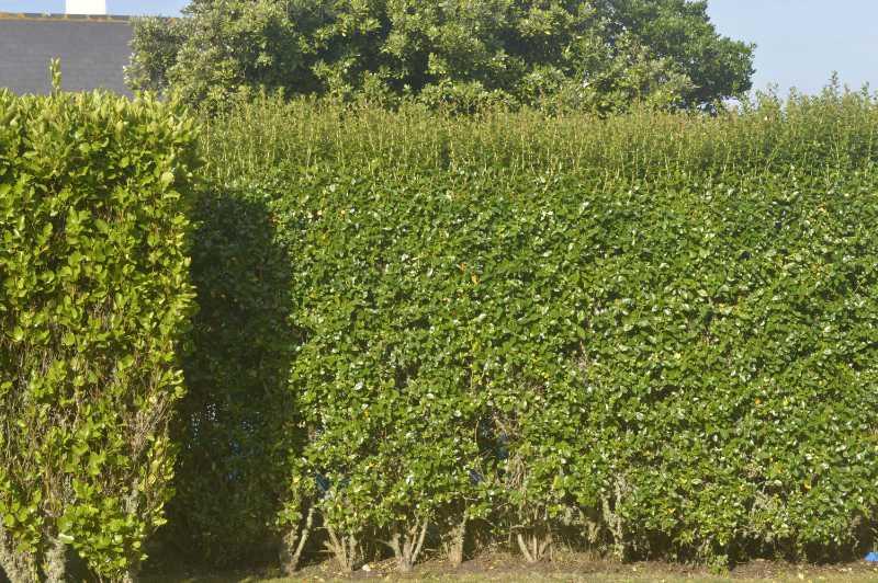 Garden makeover hedge