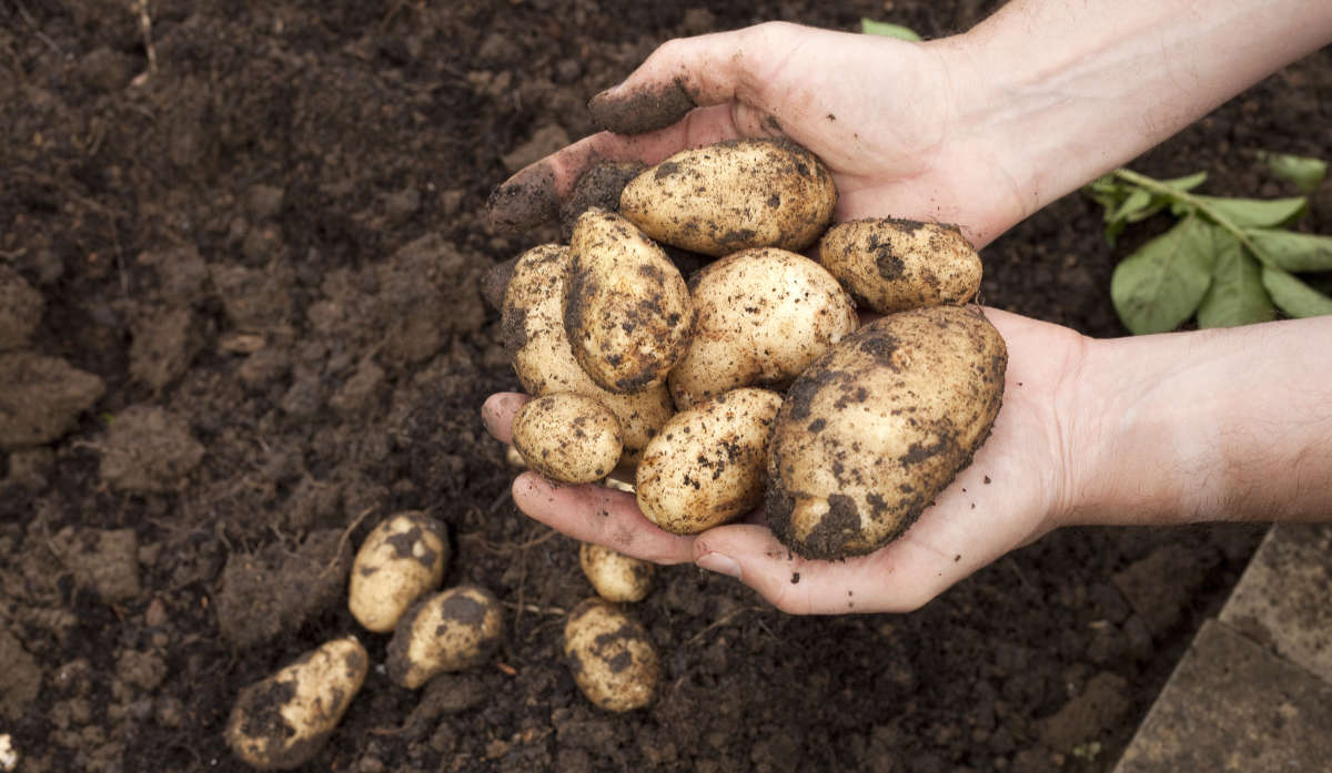 How to protect your potato crop from pests and diseases