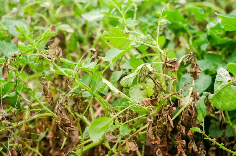 Potato blight will devastate crops
