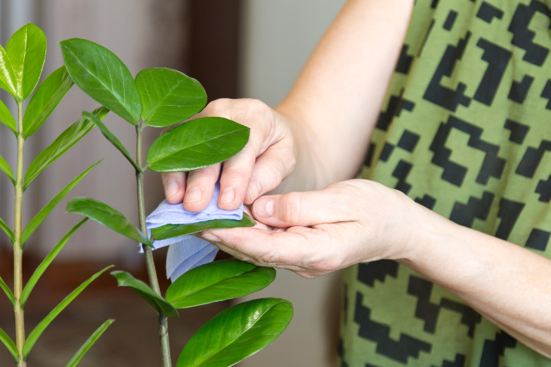 Spring cleaning hacks Elderly female hands taking care of plants at her home, wiping the dust from flower's leaves