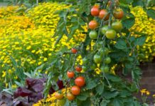 Companion planting Tomatoes and tagetes growing at RHS Garden Wisley, Surrey