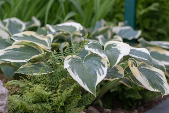 Create shade in garden hostas