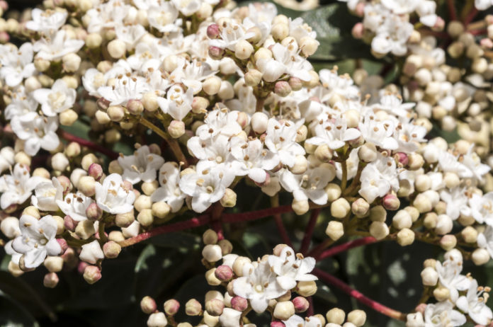 Viburnum tinus can do well in dry shade