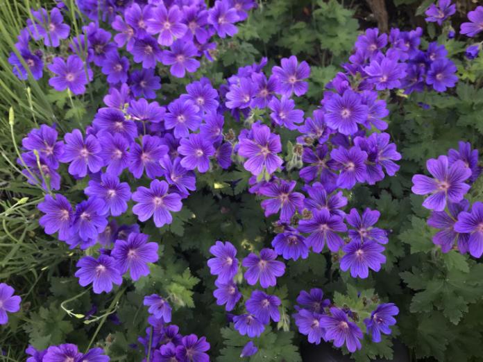 Cranesbill geraniums will spread quickly (Hannah Stephenson/PA)