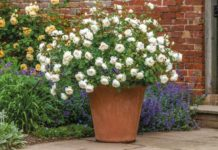 Good summer plants for pots guide - Rosa 'Desdemona' (David Austin/PA)