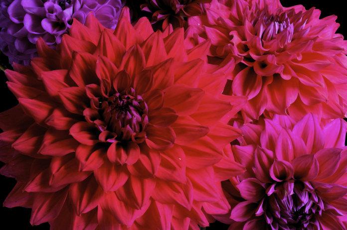 Big bloom dahlias