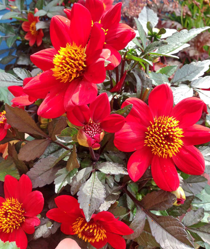 Beautiful red and yellow Dahlia Roxy flowers in bloom during summer