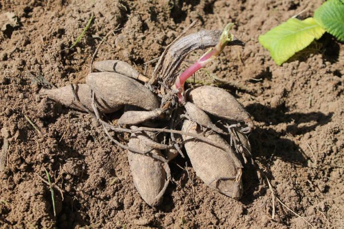 Dahlia tubers before planting