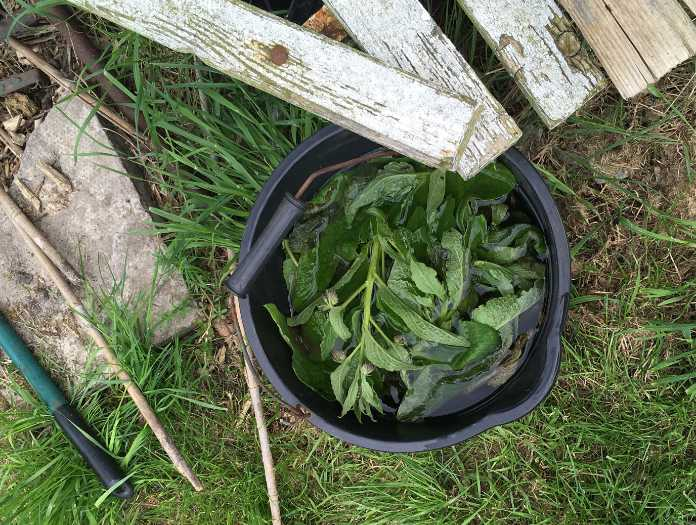 Steep comfrey in water to make a fertiliser