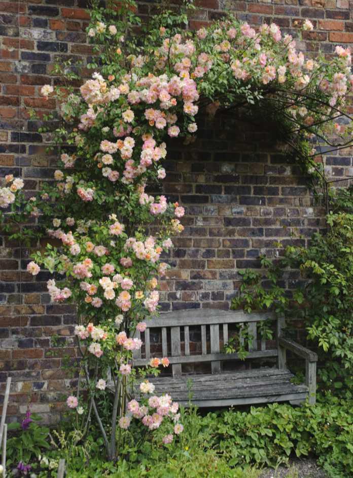 create shade in your sunny garden Rosa 'Phyllis Bide', Benthall Hall