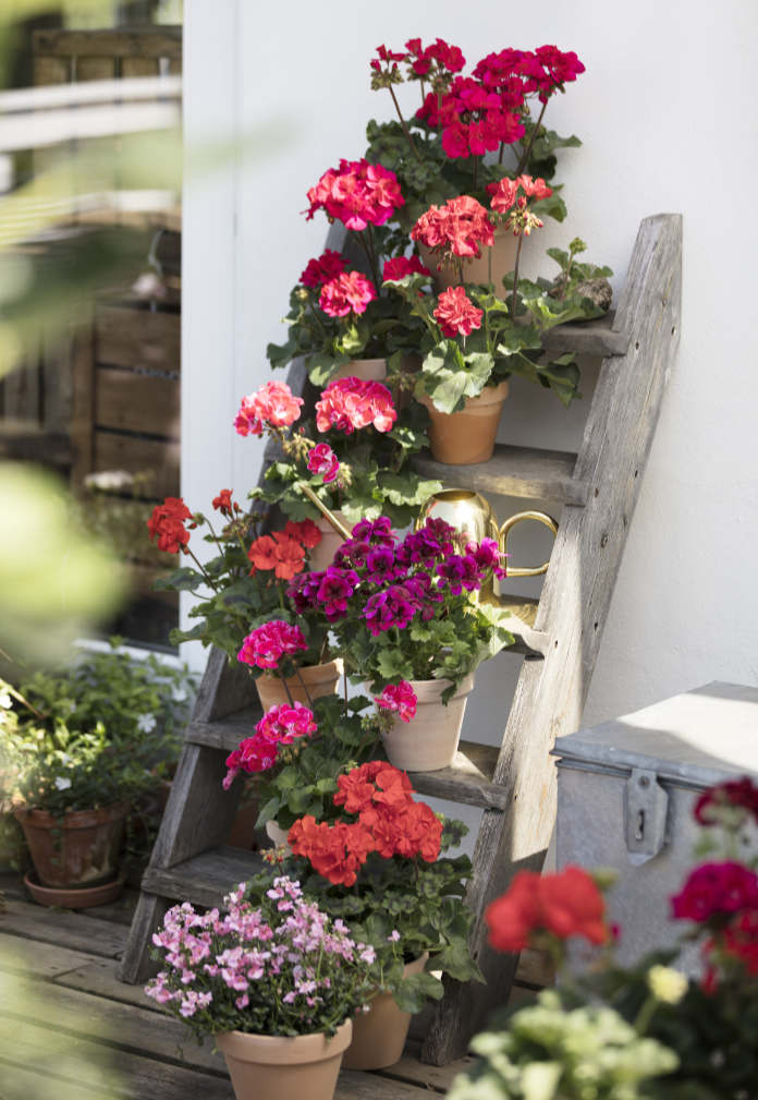 pots of pelargoniums on the rungs of a ladder