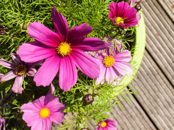 pink cosmos flowers in a plant pot