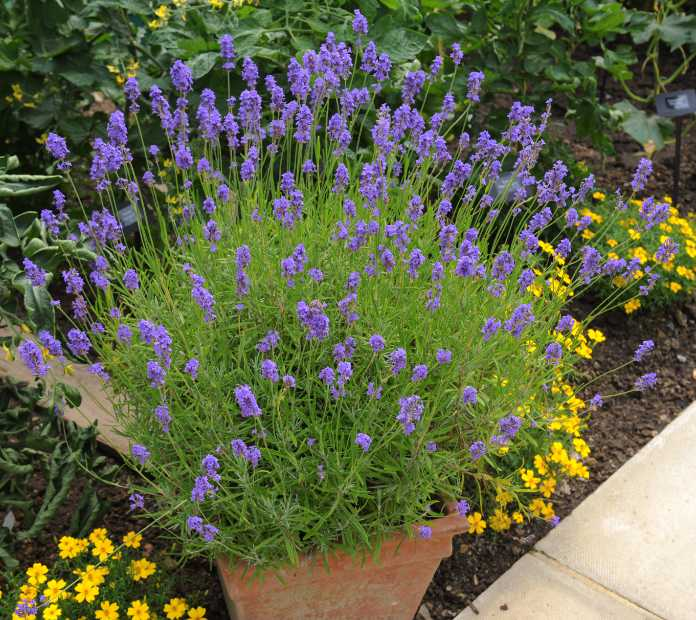Lavender is an undemanding container plant (iStock/PA)