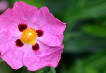 Drought tolerant plants - Cistus albidus (iStock/PA)