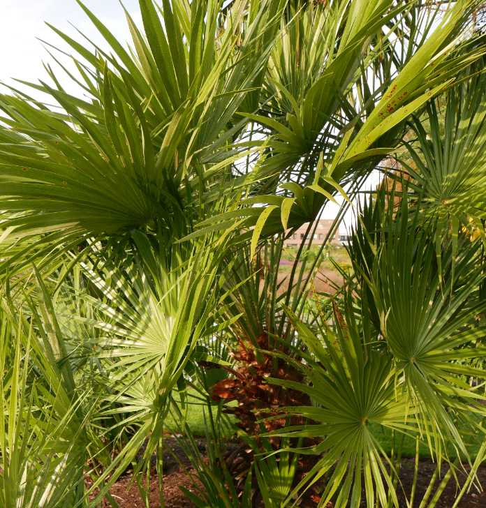 Drought tolerant plants such as the dwarf fan palm is a garden showstopper (Tony Hall/PA)