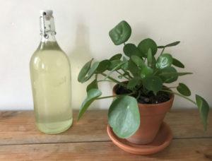 Bottled elderflower cordlal