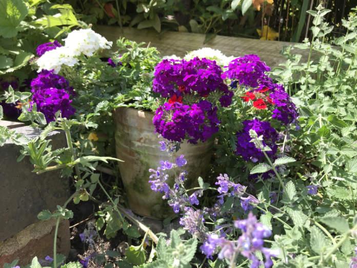 Verbena in a pot