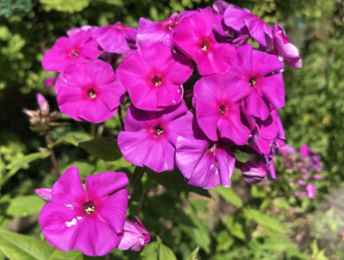 Perennial phlox makes a colourful stop-gap