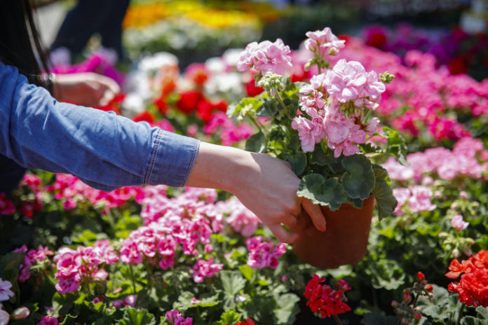 Annuals like pelargoniums make instant colourful fillers