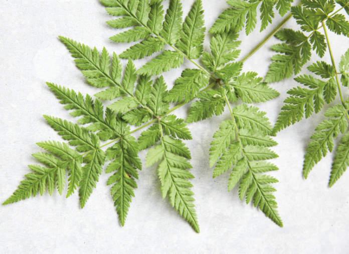 How to grow herbs - Sweet cicely (Tamin Jones/Nourish/PA)