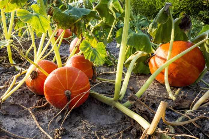 How to grow pumpkins - step 1 - where to grow