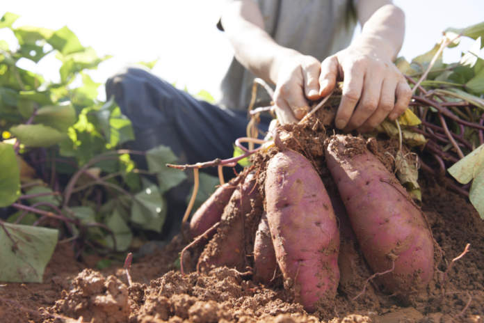How to preserve vegetables - root vegetables
