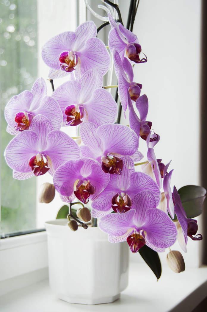 phalaenopsis blooming at window sill