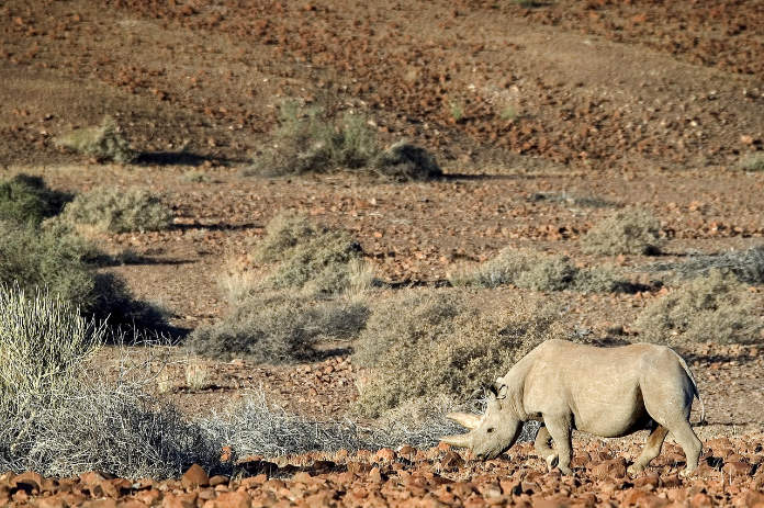 Desert-adapted rhino can be tracked on foot at Desert Rhino Camp (Wilderness/PA)