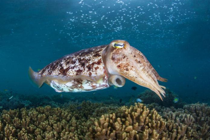 A Broadclub cuttlefish, Sepia latimanus, hovers above a coral reef in Raja Ampat, Indonesia.