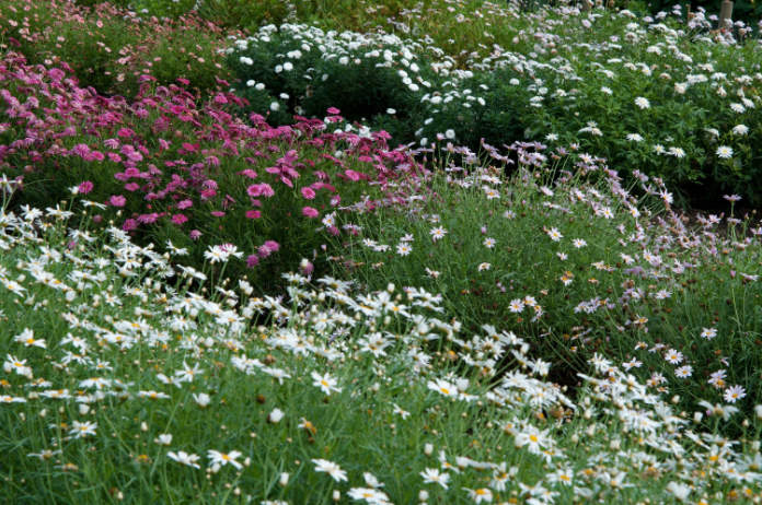 Argyranthemum (Tim Sandall/RHS/PA)