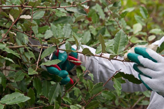 Elaeagnus is much hardier than olive (Tim Sandall/RHS/PA)