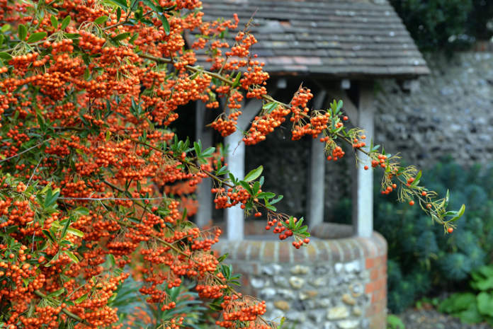 Orange pyracantha is a good alternative to more vulnerable shrubs and trees (Thinkstock/PA)