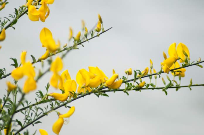 Find alternatives to Spanish broom (Thinkstock/PA)