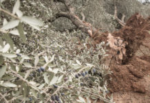 Olive trees devastated by Xylella fastidiosa (Thinkstock/PA)