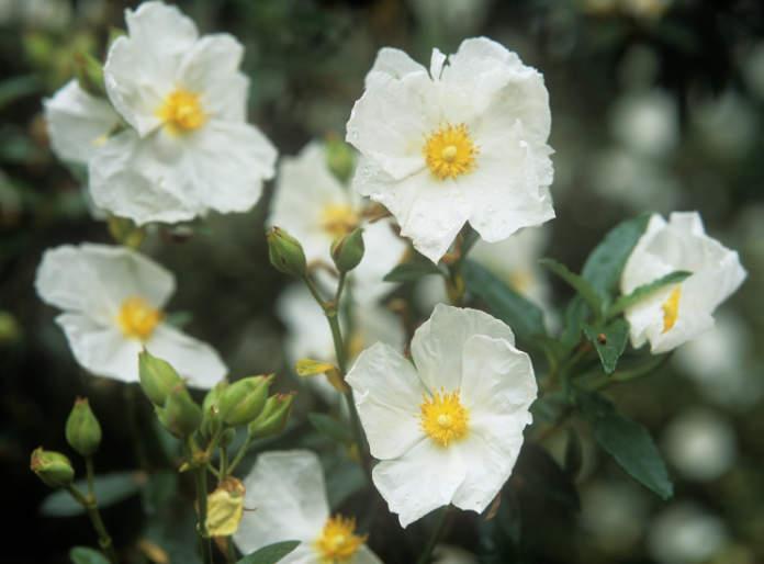 Use rock roses instead of lavender (Tim Sandall/RHS/ PA)
